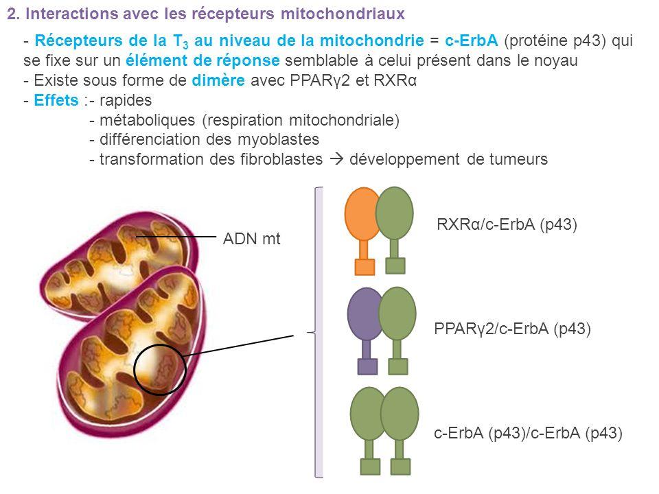 2. Interactions avec les récepteurs mitochondriaux - Récepteurs de la T 3 au niveau de la mitochondrie = c-ErbA (protéine p43) qui se fixe sur un élém