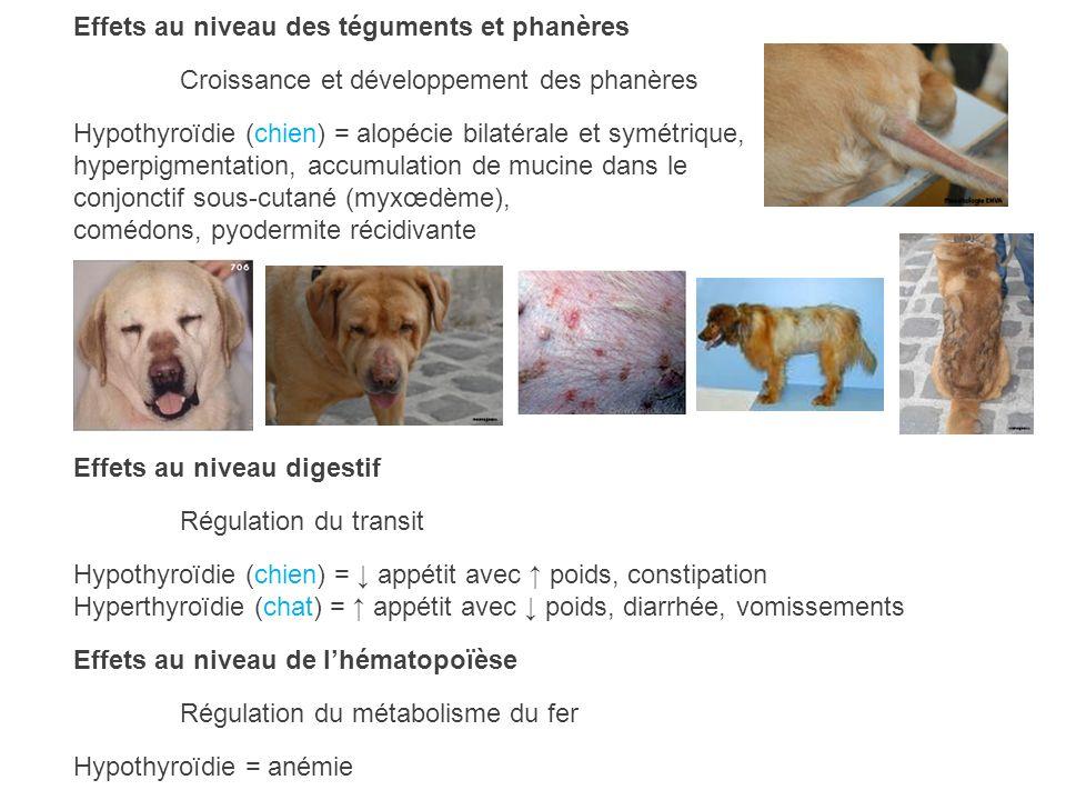 Effets au niveau des téguments et phanères Croissance et développement des phanères Hypothyroïdie (chien) = alopécie bilatérale et symétrique, hyperpi