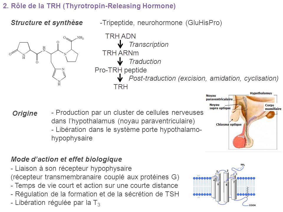 Structure et synthèse -Tripeptide, neurohormone (GluHisPro) Origine Mode daction et effet biologique - Production par un cluster de cellules nerveuses