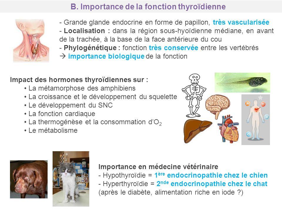 Importance en médecine vétérinaire - Hypothyroïdie = 1 ère endocrinopathie chez le chien - Hyperthyroïdie = 2 nde endocrinopathie chez le chat (après