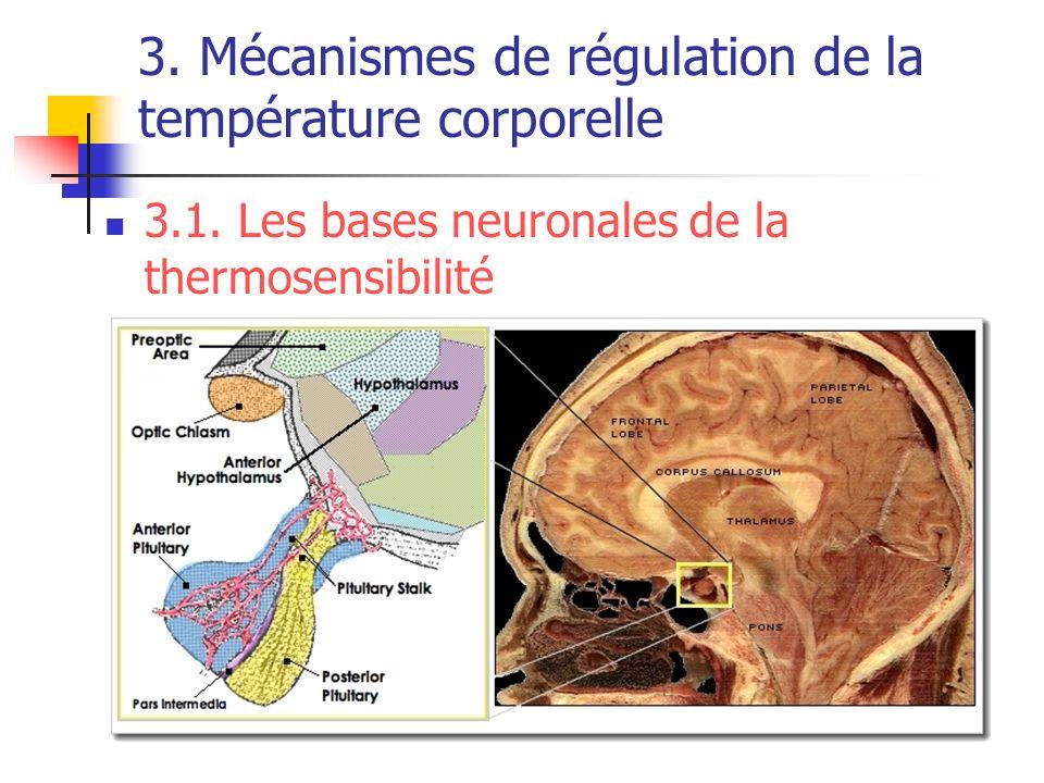 3. Mécanismes de régulation de la température corporelle 3.1. Les bases neuronales de la thermosensibilité