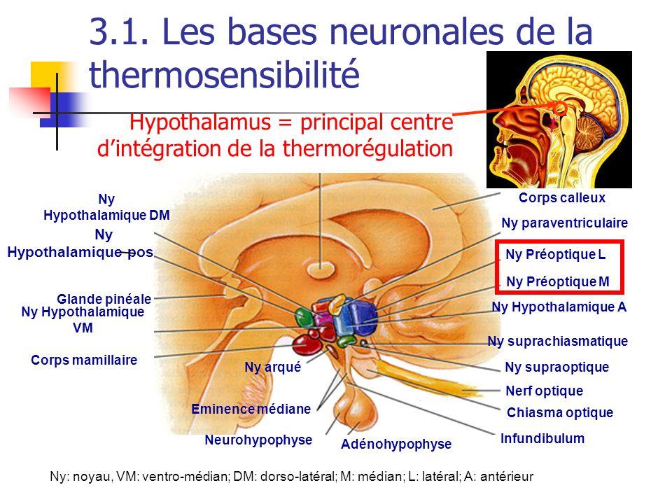 3.1. Les bases neuronales de la thermosensibilité Ny Hypothalamique postérieur Ny paraventriculaire Ny Préoptique L Ny Hypothalamique A Ny suprachiasm