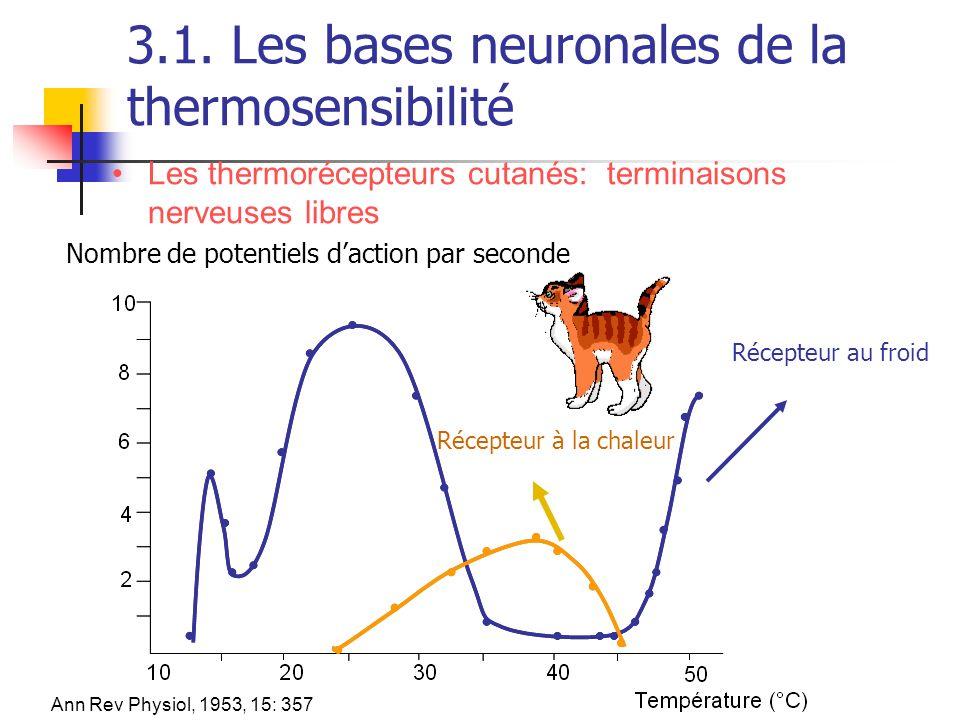 3.1. Les bases neuronales de la thermosensibilité Les thermorécepteurs cutanés: terminaisons nerveuses libres Nombre de potentiels daction par seconde