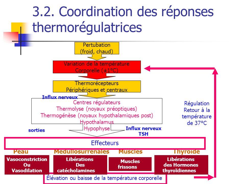 3.2. Coordination des réponses thermorégulatrices Pertubation (froid, chaud) Variation de la température Corporelle (±1°C) Thermorécepteurs Périphériq
