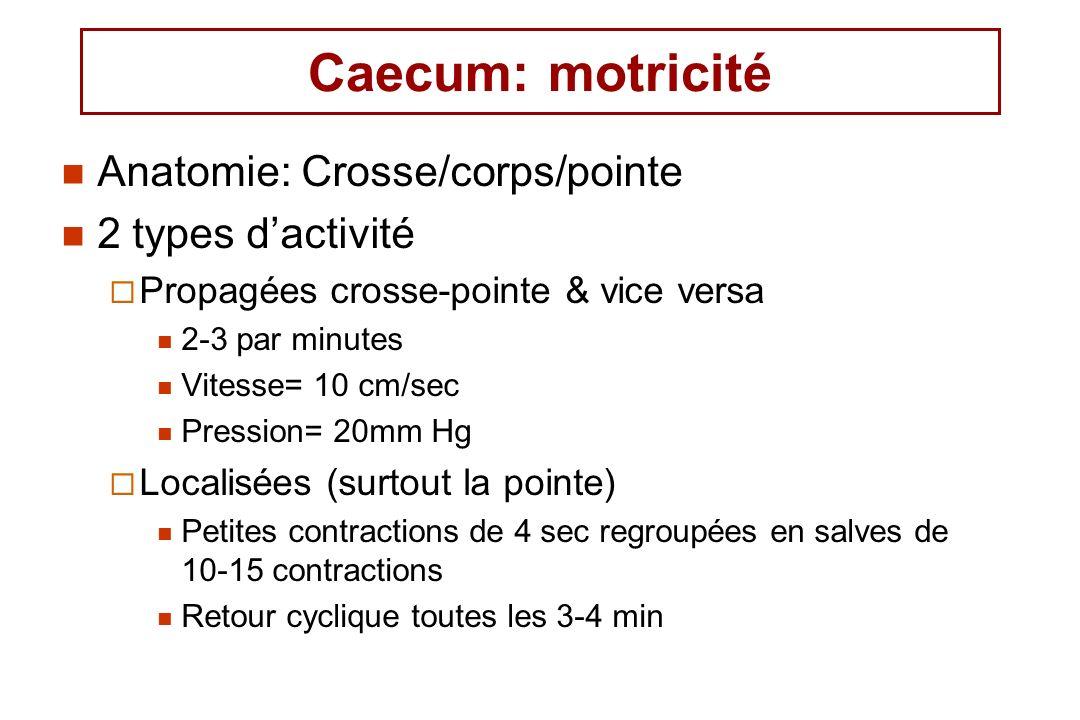 Caecum: motricité Anatomie: Crosse/corps/pointe 2 types dactivité Propagées crosse-pointe & vice versa 2-3 par minutes Vitesse= 10 cm/sec Pression= 20mm Hg Localisées (surtout la pointe) Petites contractions de 4 sec regroupées en salves de 10-15 contractions Retour cyclique toutes les 3-4 min