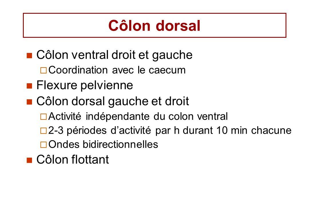 Côlon dorsal Côlon ventral droit et gauche Coordination avec le caecum Flexure pelvienne Côlon dorsal gauche et droit Activité indépendante du colon ventral 2-3 périodes dactivité par h durant 10 min chacune Ondes bidirectionnelles Côlon flottant