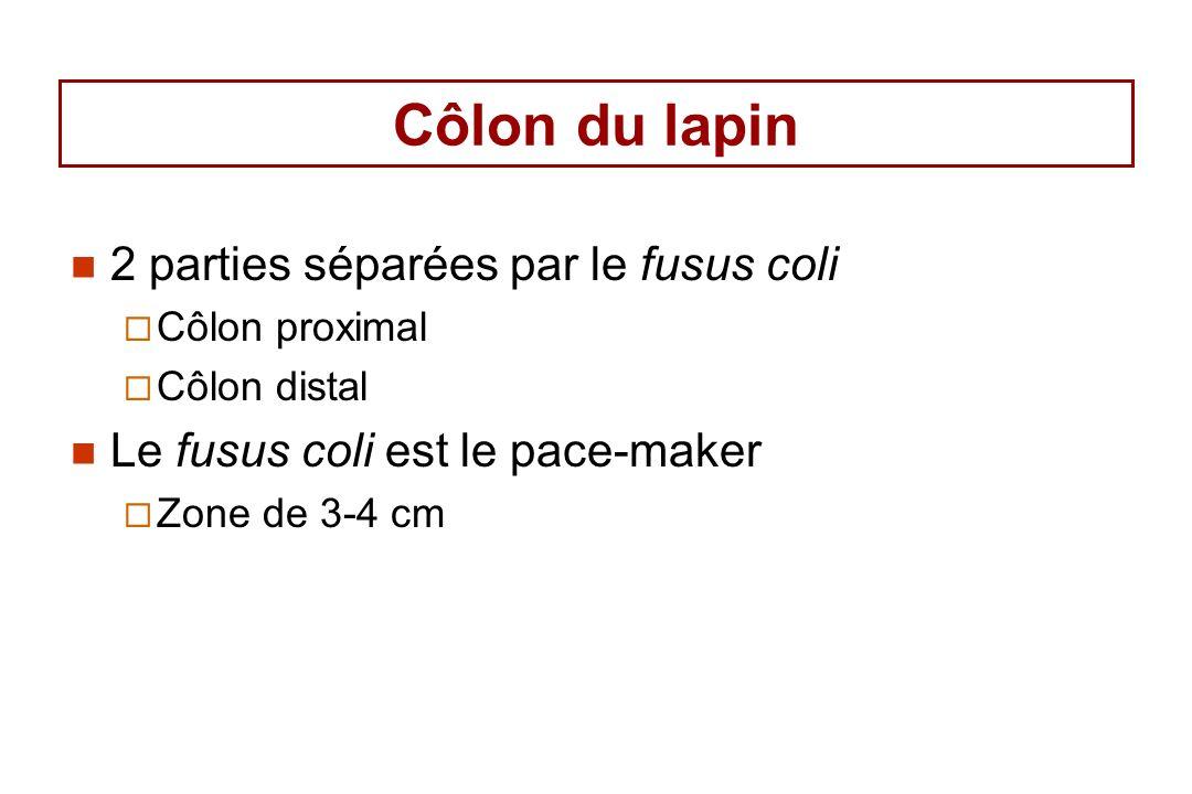 Côlon du lapin 2 parties séparées par le fusus coli Côlon proximal Côlon distal Le fusus coli est le pace-maker Zone de 3-4 cm