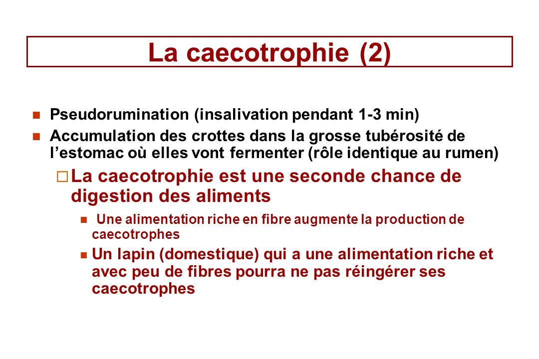 La caecotrophie (2) Pseudorumination (insalivation pendant 1-3 min) Accumulation des crottes dans la grosse tubérosité de lestomac où elles vont fermenter (rôle identique au rumen) La caecotrophie est une seconde chance de digestion des aliments Une alimentation riche en fibre augmente la production de caecotrophes Un lapin (domestique) qui a une alimentation riche et avec peu de fibres pourra ne pas réingérer ses caecotrophes
