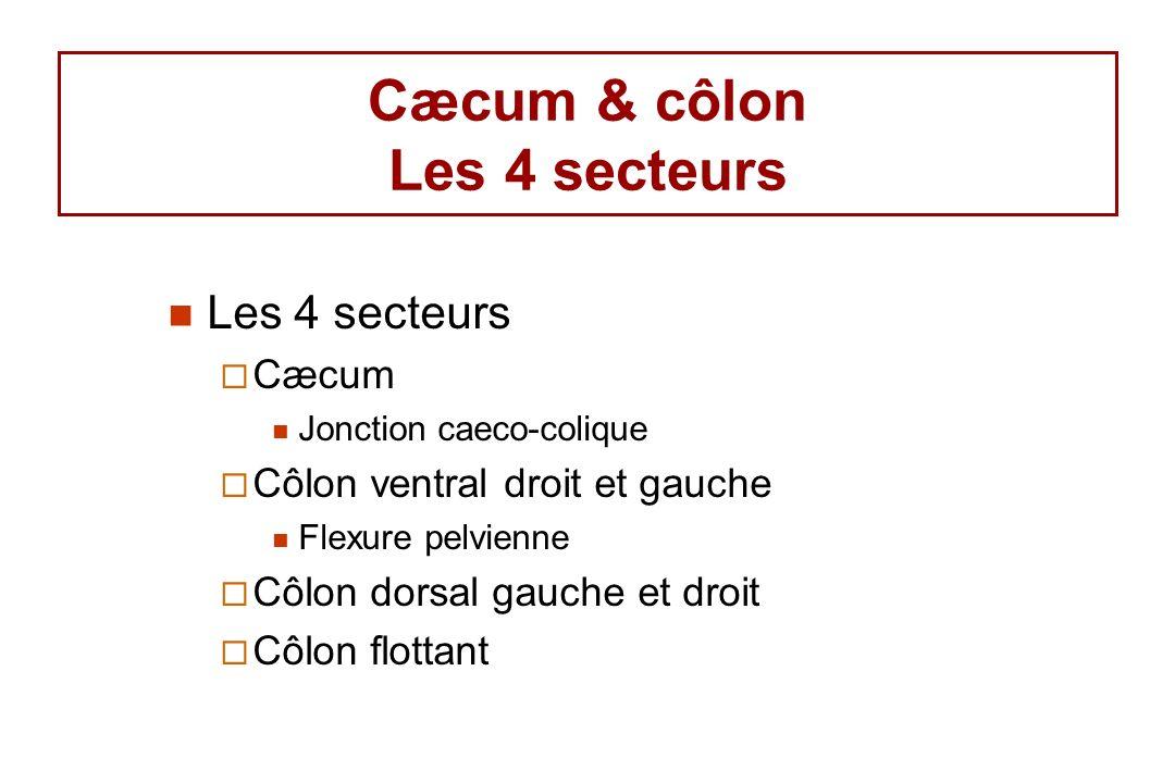 Cæcum & côlon Les 4 secteurs Les 4 secteurs Cæcum Jonction caeco-colique Côlon ventral droit et gauche Flexure pelvienne Côlon dorsal gauche et droit Côlon flottant