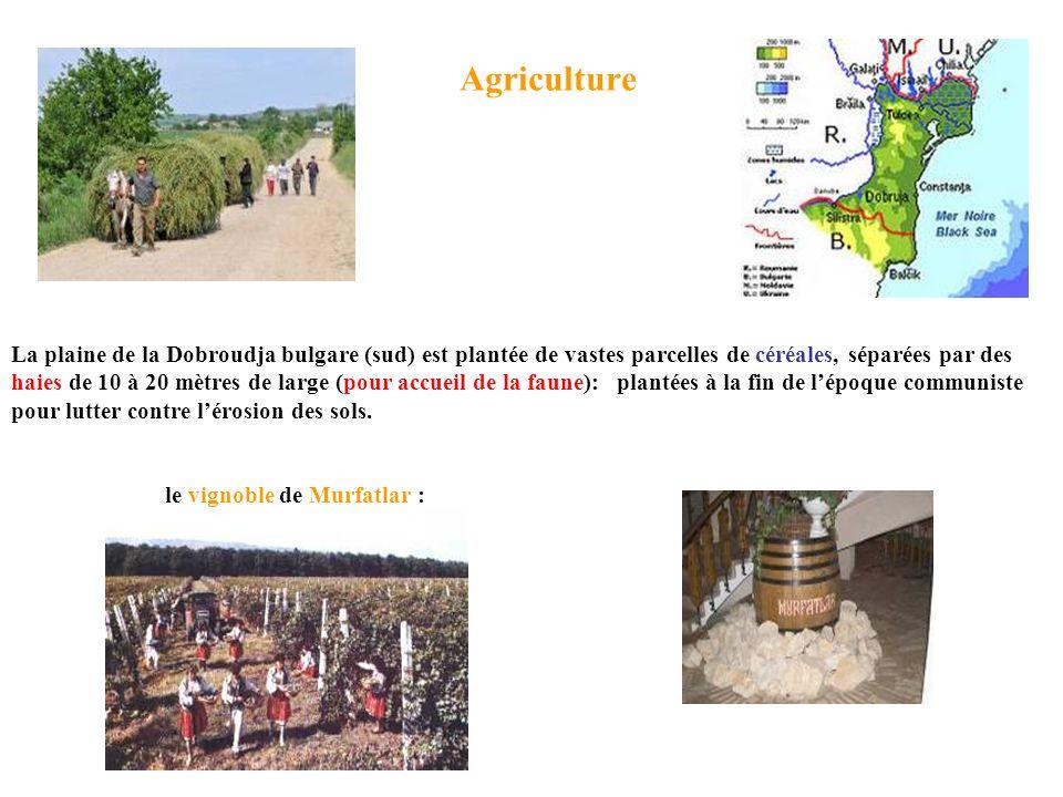 Agriculture le vignoble de Murfatlar : La plaine de la Dobroudja bulgare (sud) est plantée de vastes parcelles de céréales, séparées par des haies de