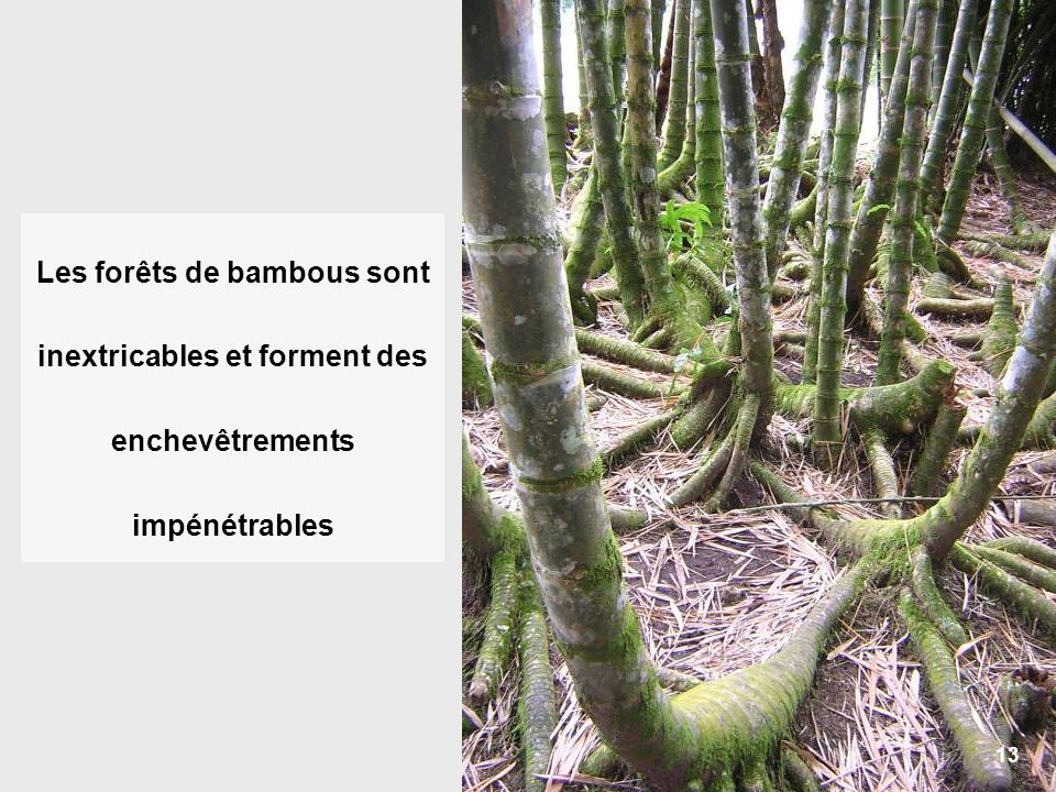 13 Les forêts de bambous sont inextricables et forment des enchevêtrements impénétrables