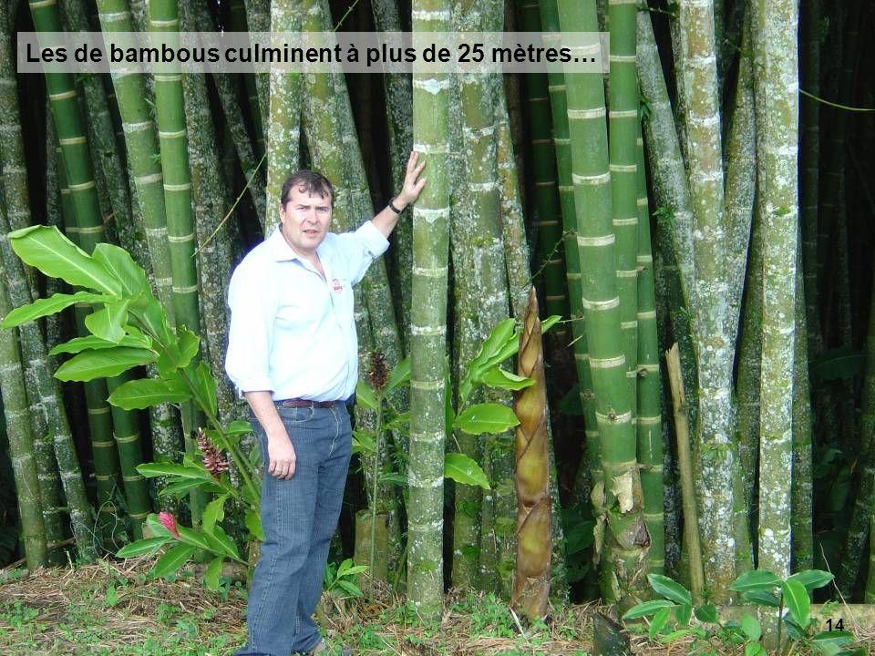 14 Les de bambous culminent à plus de 25 mètres…