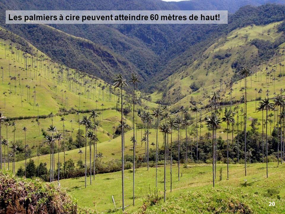 20 Les palmiers à cire peuvent atteindre 60 mètres de haut!