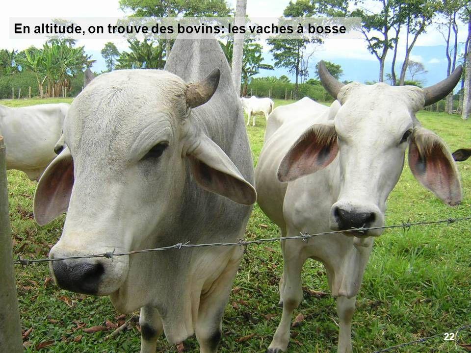 22 En altitude, on trouve des bovins: les vaches à bosse