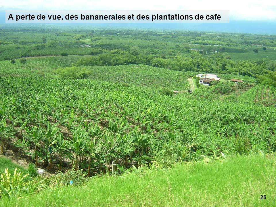 26 A perte de vue, des bananeraies et des plantations de café