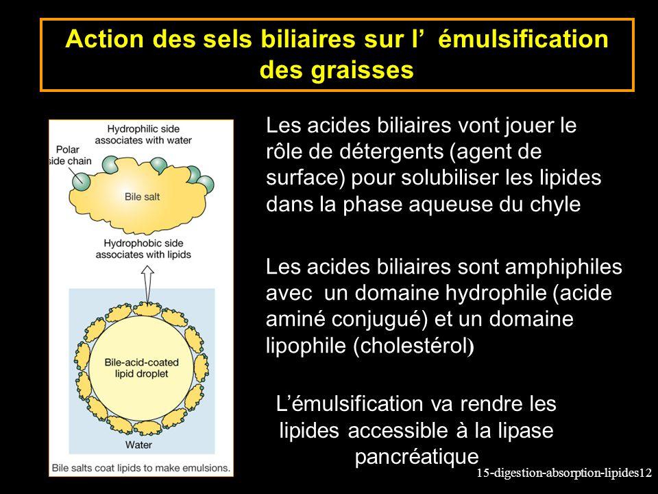 15-digestion-absorption-lipides12 Action des sels biliaires sur l émulsification des graisses Les acides biliaires vont jouer le rôle de détergents (agent de surface) pour solubiliser les lipides dans la phase aqueuse du chyle Lémulsification va rendre les lipides accessible à la lipase pancréatique Les acides biliaires sont amphiphiles avec un domaine hydrophile (acide aminé conjugué) et un domaine lipophile (cholestérol )