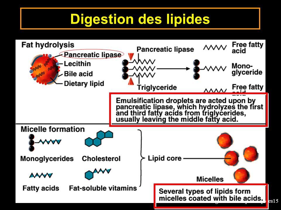 15-digestion-absorption-lipides15 Digestion des lipides