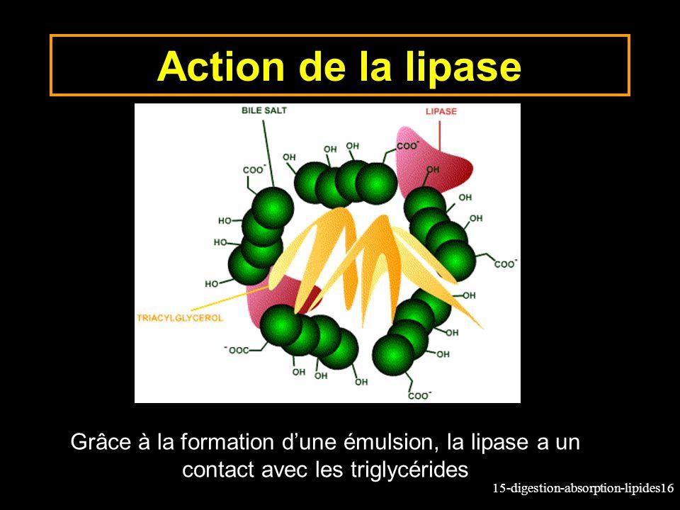15-digestion-absorption-lipides16 Action de la lipase Grâce à la formation dune émulsion, la lipase a un contact avec les triglycérides