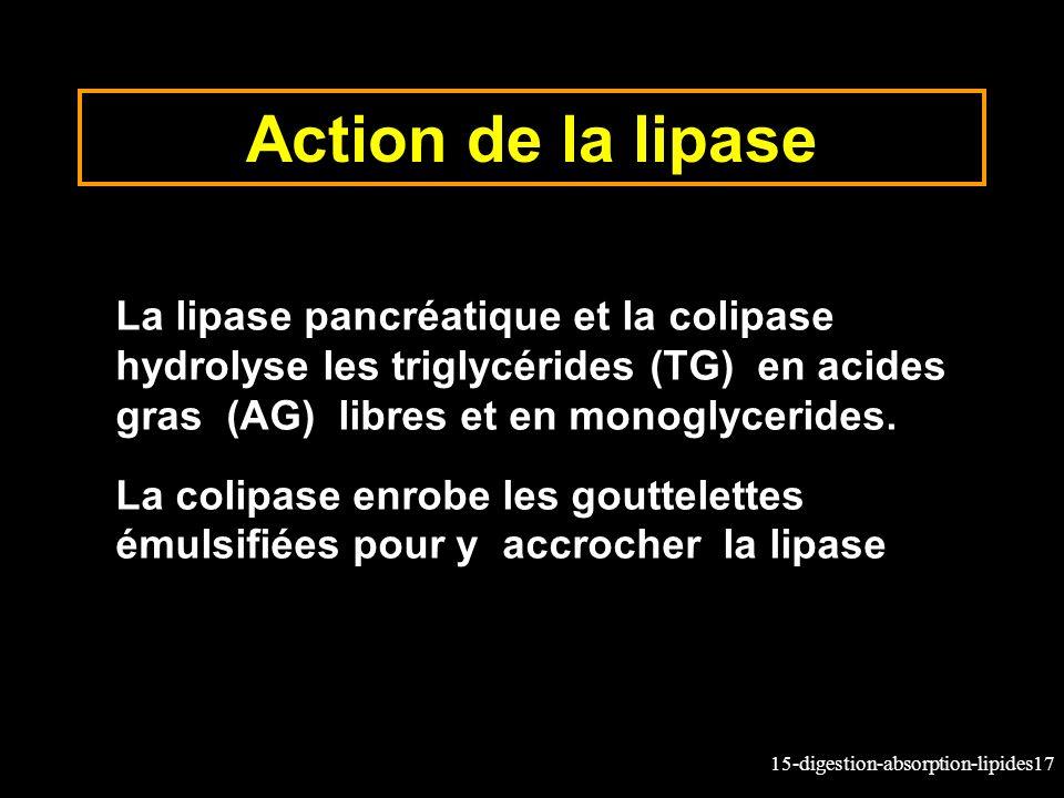 15-digestion-absorption-lipides17 Action de la lipase La lipase pancréatique et la colipase hydrolyse les triglycérides (TG) en acides gras (AG) libres et en monoglycerides.