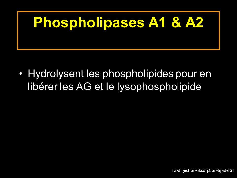 15-digestion-absorption-lipides21 Phospholipases A1 & A2 Hydrolysent les phospholipides pour en libérer les AG et le lysophospholipide