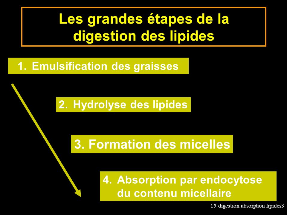15-digestion-absorption-lipides3 Les grandes étapes de la digestion des lipides 1.Emulsification des graisses 2.Hydrolyse des lipides 3.Formation des