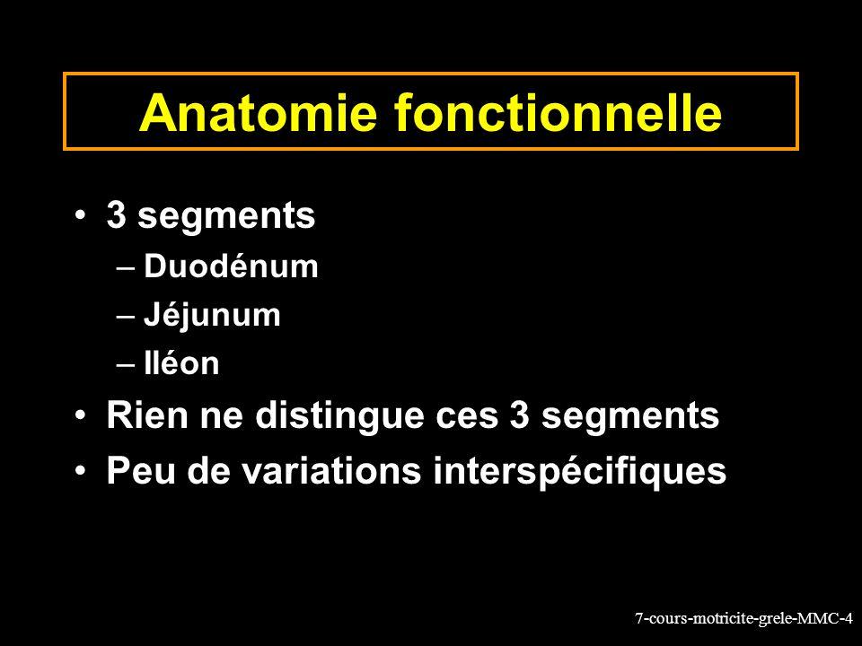 7-cours-motricite-grele-MMC-4 Anatomie fonctionnelle 3 segments –Duodénum –Jéjunum –Iléon Rien ne distingue ces 3 segments Peu de variations interspécifiques