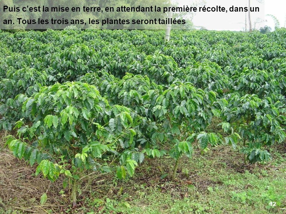 12 Puis cest la mise en terre, en attendant la première récolte, dans un an. Tous les trois ans, les plantes seront taillées