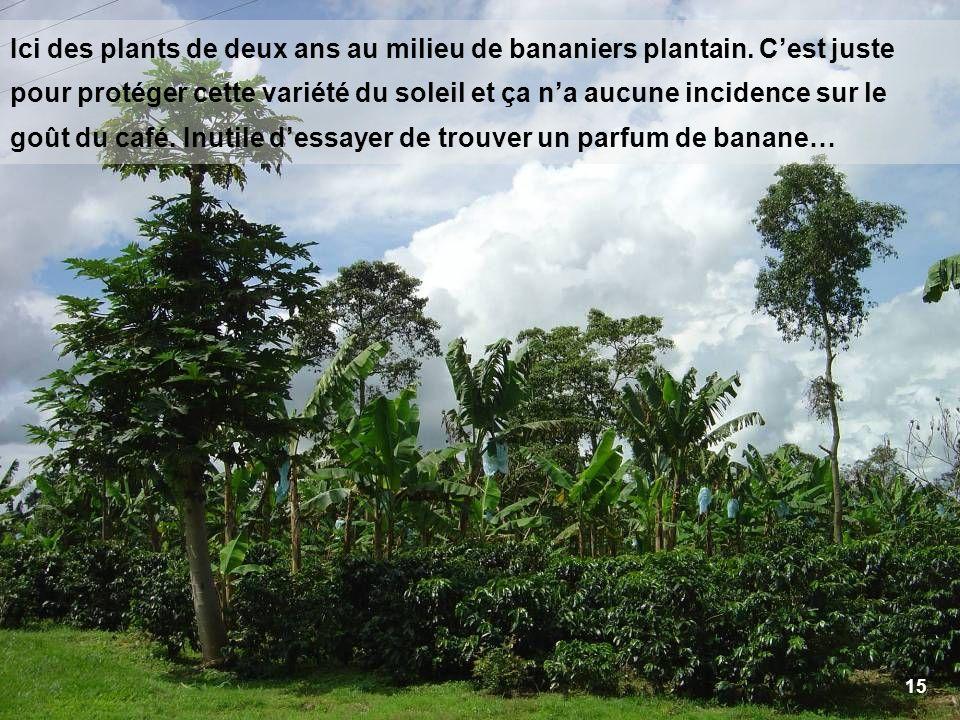 15 Ici des plants de deux ans au milieu de bananiers plantain. Cest juste pour protéger cette variété du soleil et ça na aucune incidence sur le goût