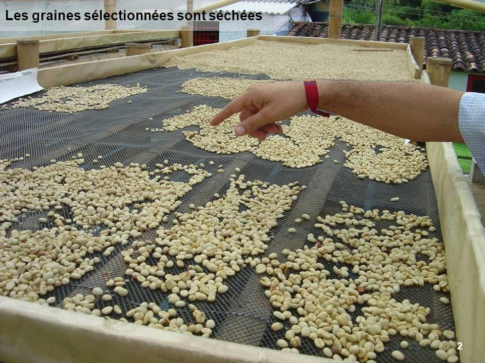 2 Les graines sélectionnées sont séchées