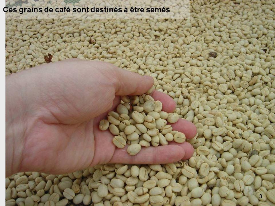 3 Ces grains de café sont destinés à être semés