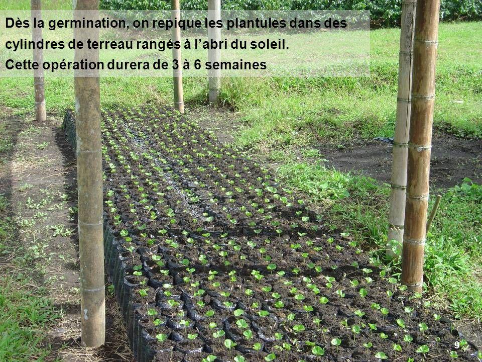 9 Dès la germination, on repique les plantules dans des cylindres de terreau rangés à labri du soleil. Cette opération durera de 3 à 6 semaines