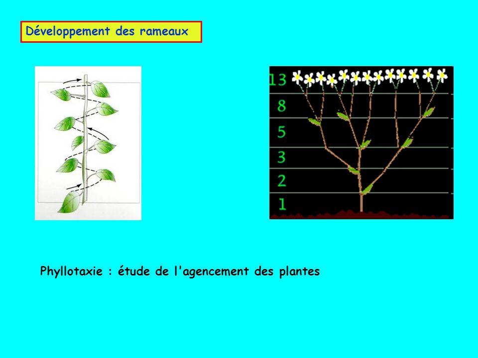 Développement des rameaux Phyllotaxie : étude de l'agencement des plantes