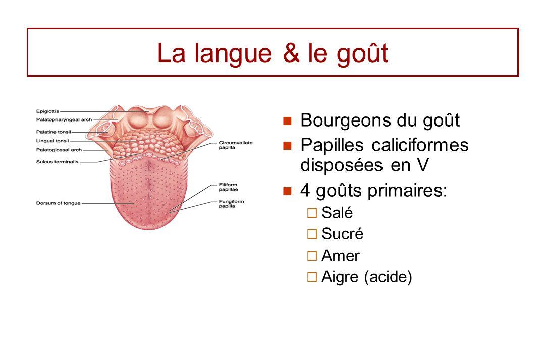 La langue & le goût Bourgeons du goût Papilles caliciformes disposées en V 4 goûts primaires: Salé Sucré Amer Aigre (acide)