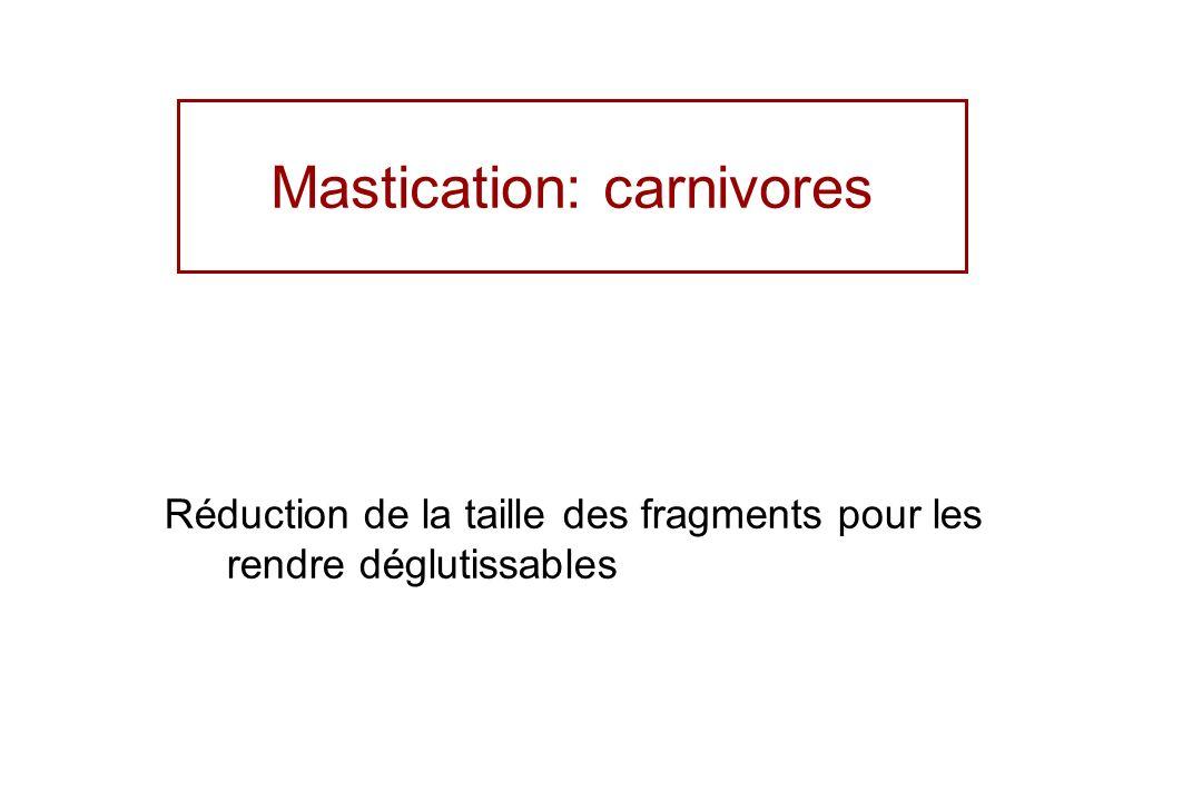 Mastication: carnivores Réduction de la taille des fragments pour les rendre déglutissables