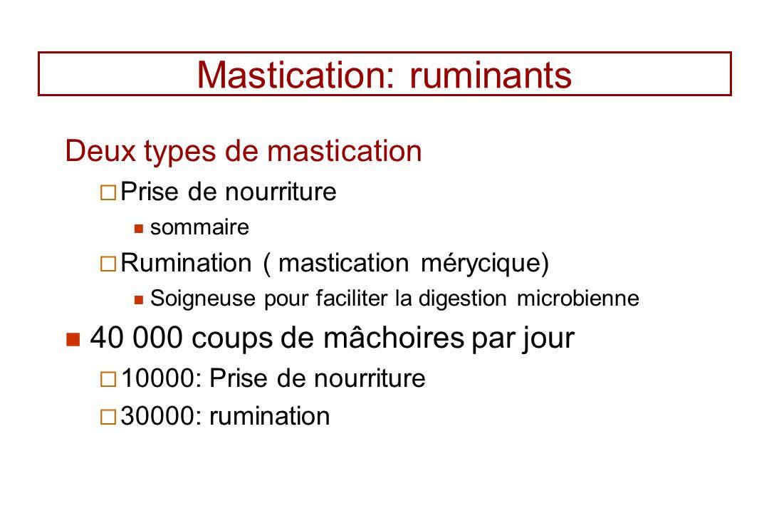 Mastication: ruminants Deux types de mastication Prise de nourriture sommaire Rumination ( mastication mérycique) Soigneuse pour faciliter la digestio