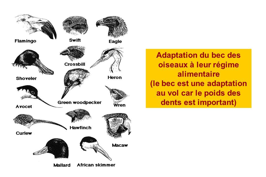 Adaptation du bec des oiseaux à leur régime alimentaire (le bec est une adaptation au vol car le poids des dents est important)