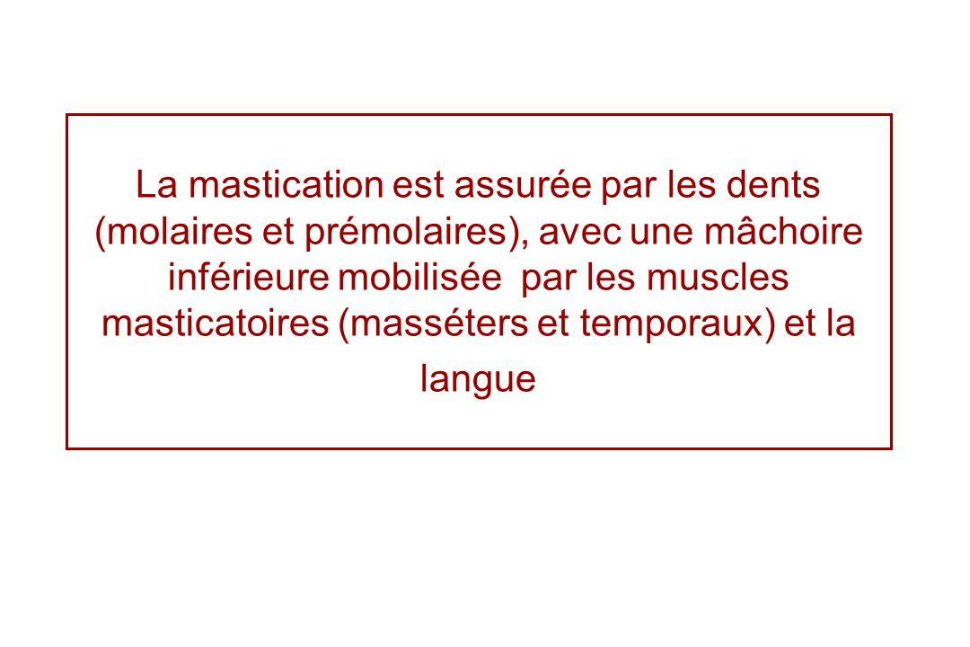 La mastication est assurée par les dents (molaires et prémolaires), avec une mâchoire inférieure mobilisée par les muscles masticatoires (masséters et