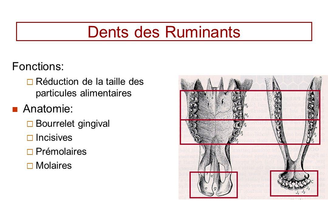 Dents des Ruminants Fonctions: Réduction de la taille des particules alimentaires Anatomie: Bourrelet gingival Incisives Prémolaires Molaires