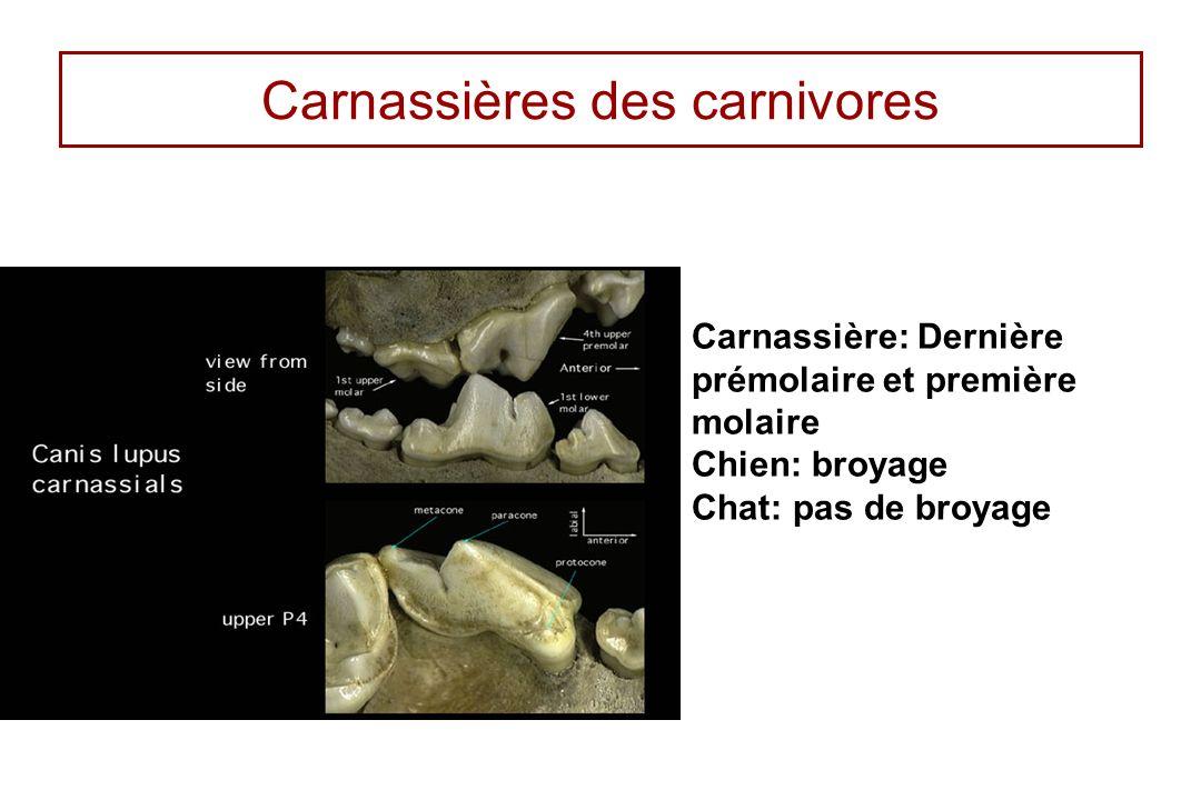 Carnassières des carnivores Carnassière: Dernière prémolaire et première molaire Chien: broyage Chat: pas de broyage