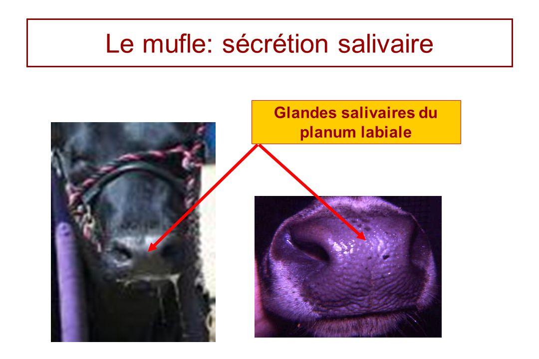 Le mufle: sécrétion salivaire Glandes salivaires du planum labiale