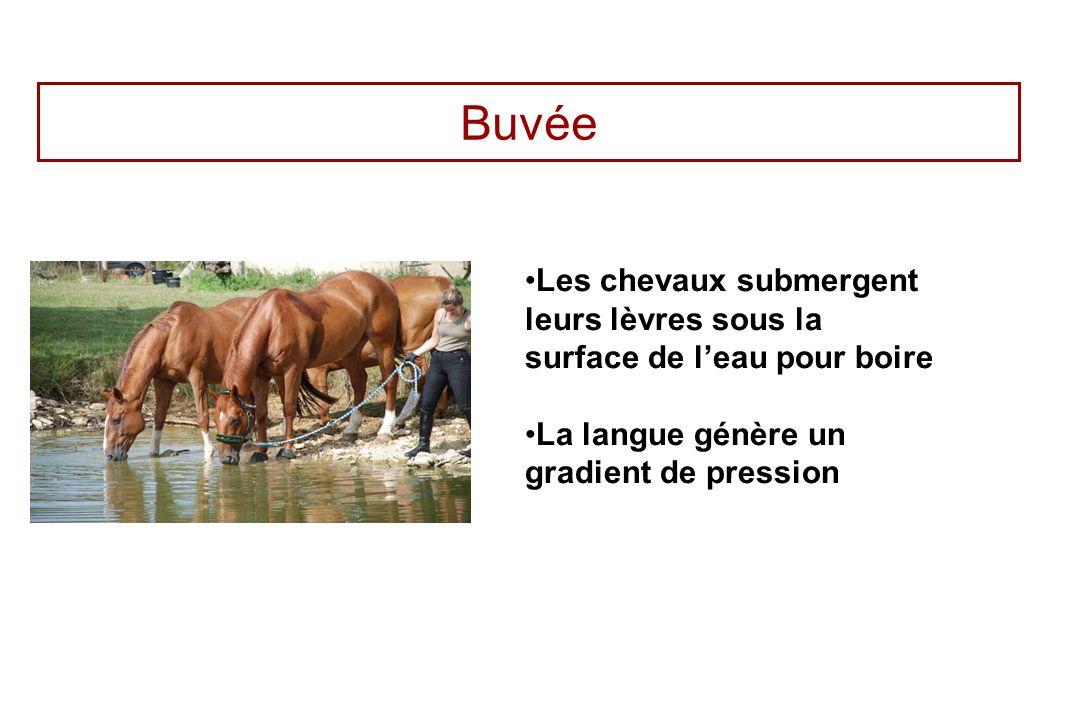 Buvée Les chevaux submergent leurs lèvres sous la surface de leau pour boire La langue génère un gradient de pression