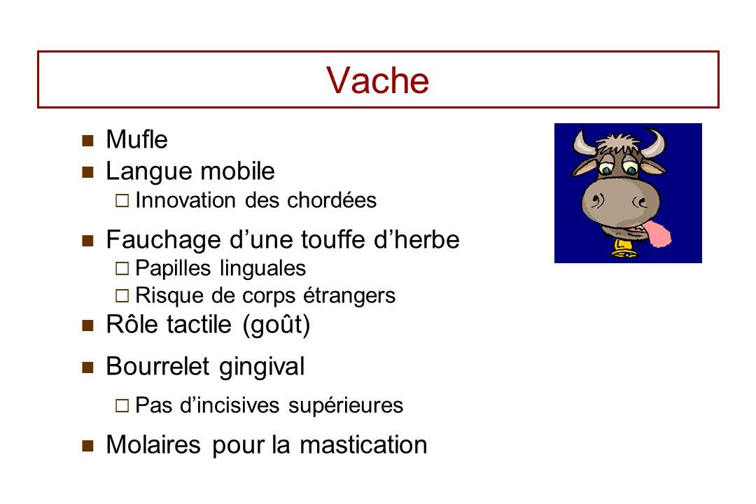 Vache Mufle Langue mobile Innovation des chordées Fauchage dune touffe dherbe Papilles linguales Risque de corps étrangers Rôle tactile (goût) Bourrel