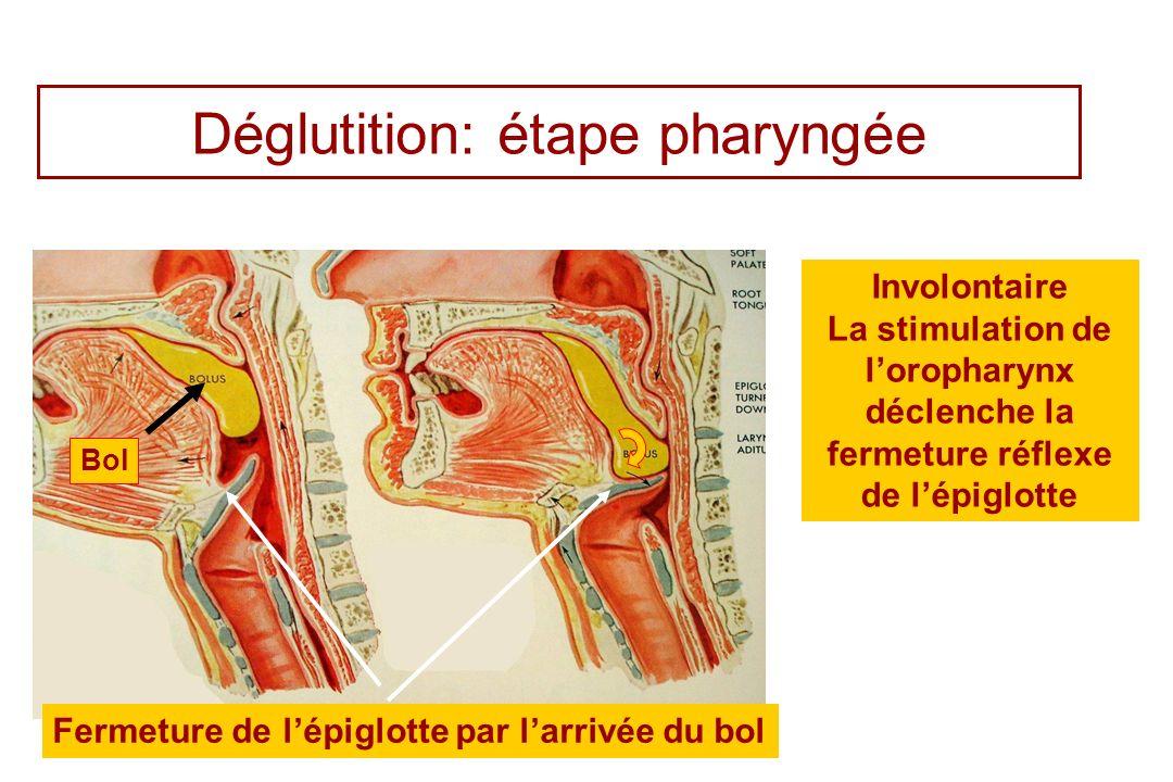 Déglutition: étape pharyngée Fermeture de lépiglotte par larrivée du bol Involontaire La stimulation de loropharynx déclenche la fermeture réflexe de