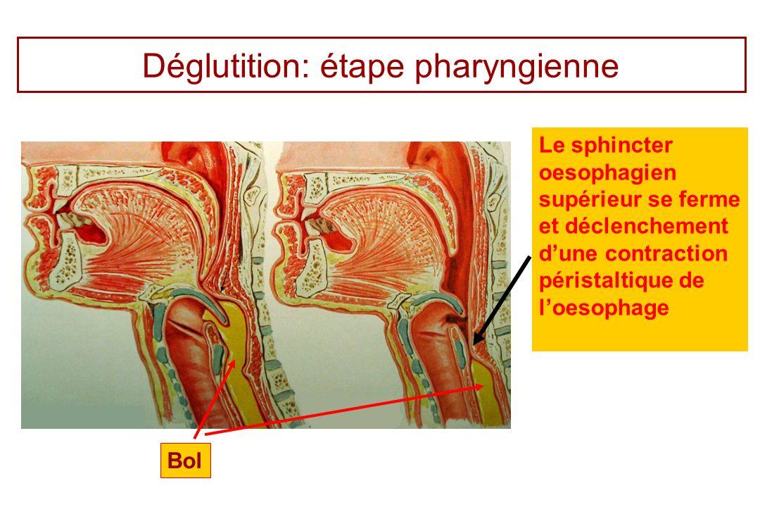 Déglutition: étape pharyngienne Le sphincter oesophagien supérieur se ferme et déclenchement dune contraction péristaltique de loesophage Bol