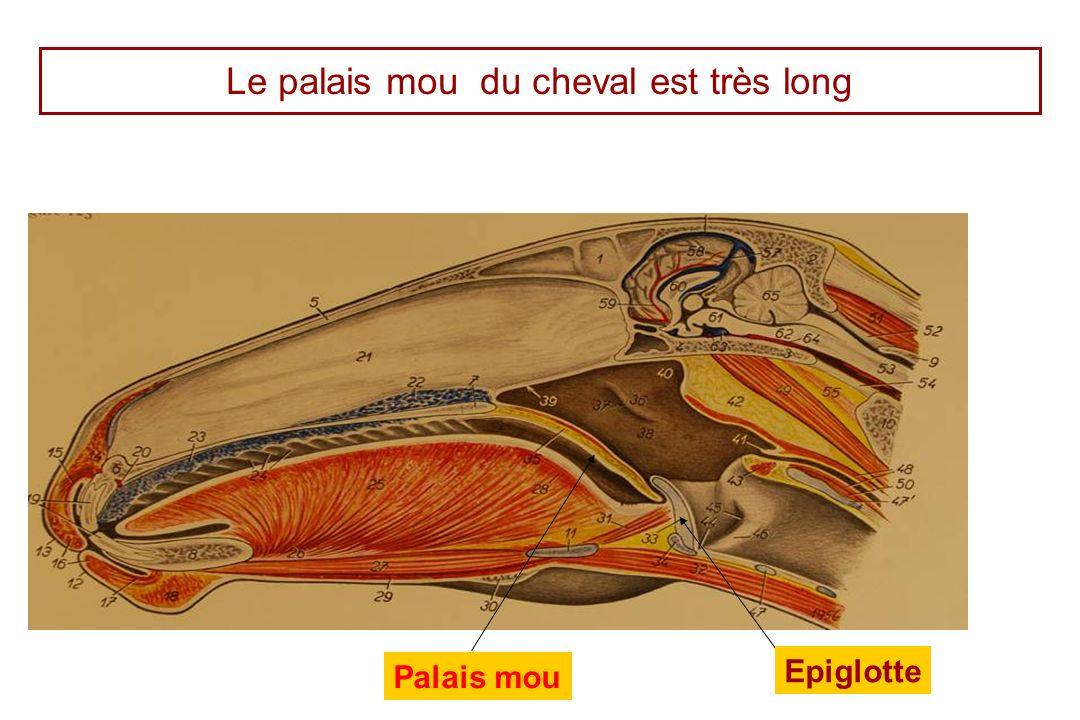 Le palais mou du cheval est très long Palais mou Epiglotte