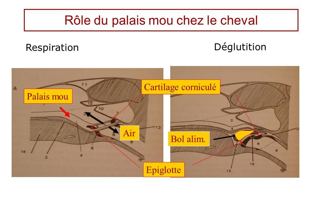 Rôle du palais mou chez le cheval Respiration Déglutition Palais mou Epiglotte Cartilage corniculé Air Bol alim.