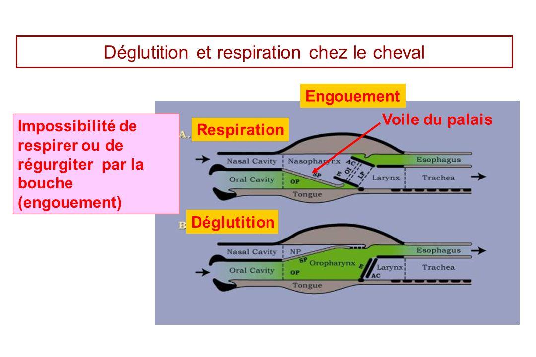 Déglutition et respiration chez le cheval Voile du palais Impossibilité de respirer ou de régurgiter par la bouche (engouement) Respiration Déglutitio