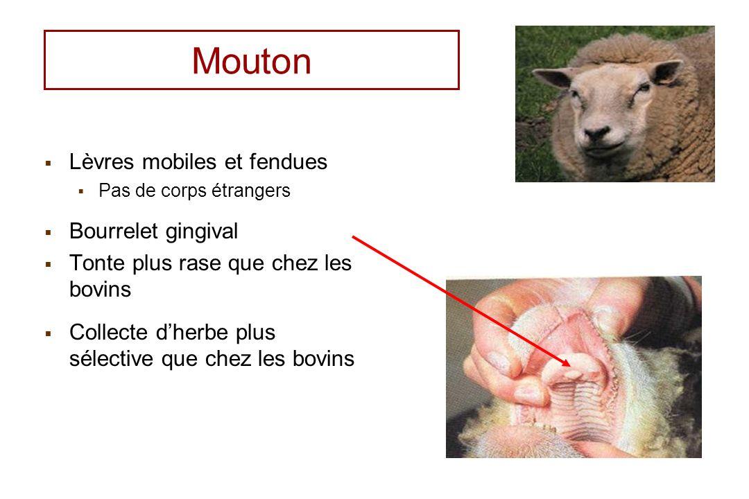 Mouton Lèvres mobiles et fendues Pas de corps étrangers Bourrelet gingival Tonte plus rase que chez les bovins Collecte dherbe plus sélective que chez