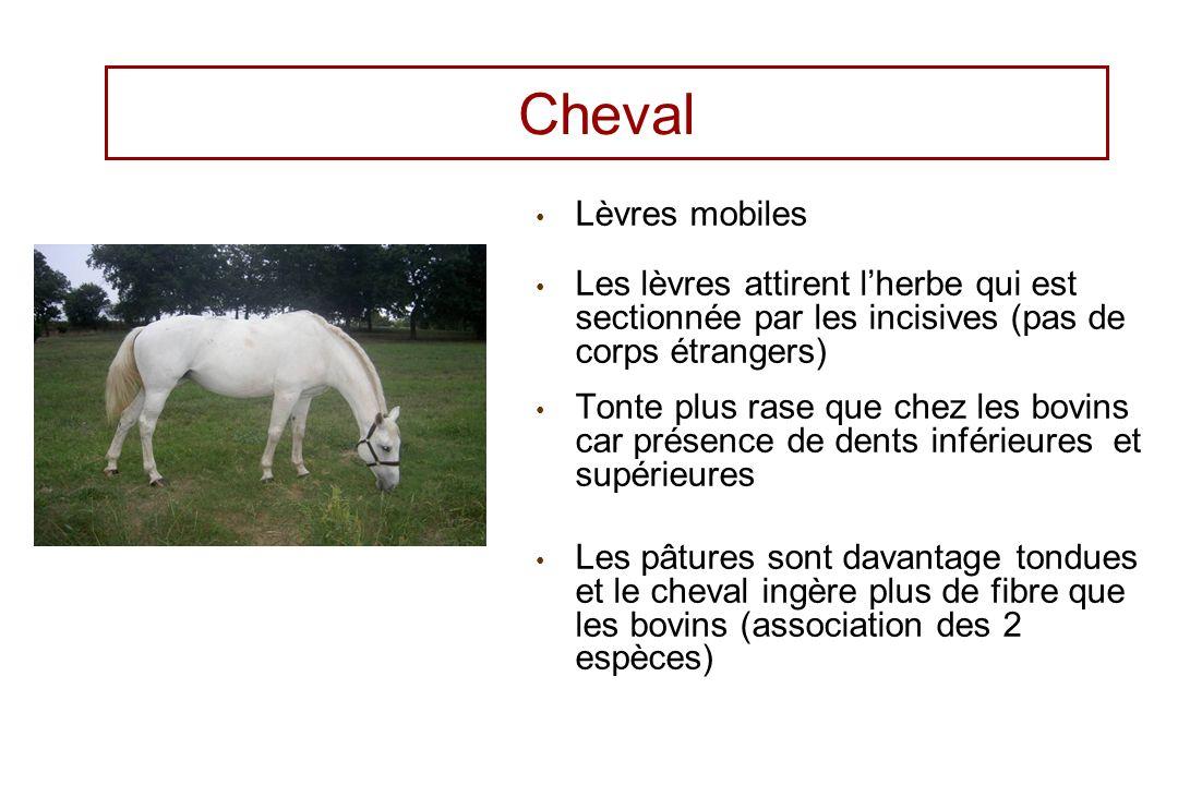 Cheval Lèvres mobiles Les lèvres attirent lherbe qui est sectionnée par les incisives (pas de corps étrangers) Tonte plus rase que chez les bovins car