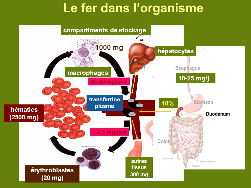 macrophages compartiments de stockage Hépatocytes Plasma (4mg) érythroblastes (20 mg) autres tissus 300 mg hématies (2500 mg) 1000 mg 1-2 mg / jour fe